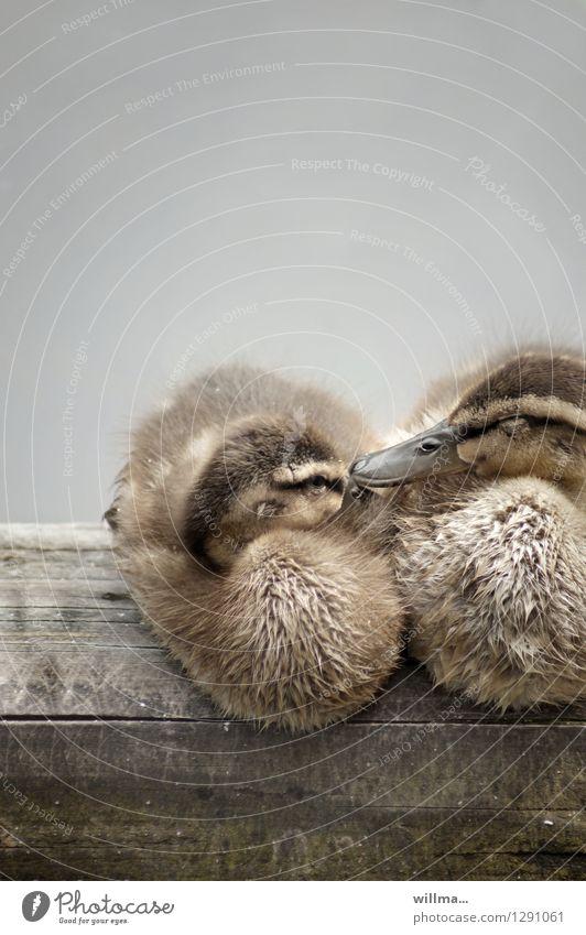 0815 AST   entspannung Holz braun Zufriedenheit nass niedlich weich Zusammenhalt Ente ausruhend Kuscheln Entenküken Entenfamilie