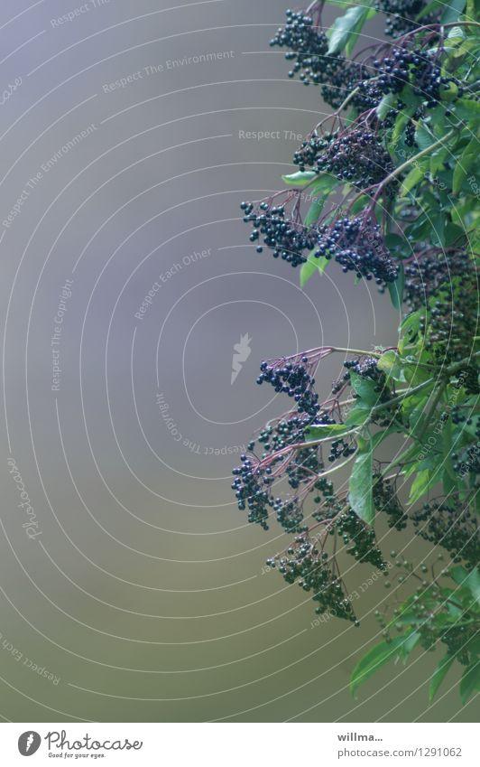 0815 AST | hollberger bamberbusch Natur Pflanze grün Gesunde Ernährung natürlich Gesundheit violett Medikament Vitamin aromatisch fruchtig Holunderbusch Holunderbeeren