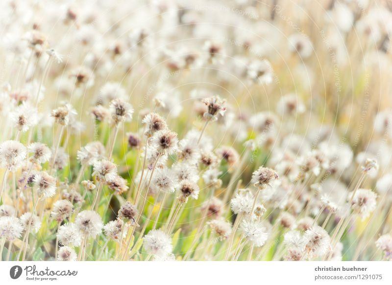 teide flowers Natur Landschaft Pflanze Blume Gras Grünpflanze Wildpflanze Vulkan Teide Teneriffa Insel Kanaren ästhetisch einfach natürlich Fernweh Erholung