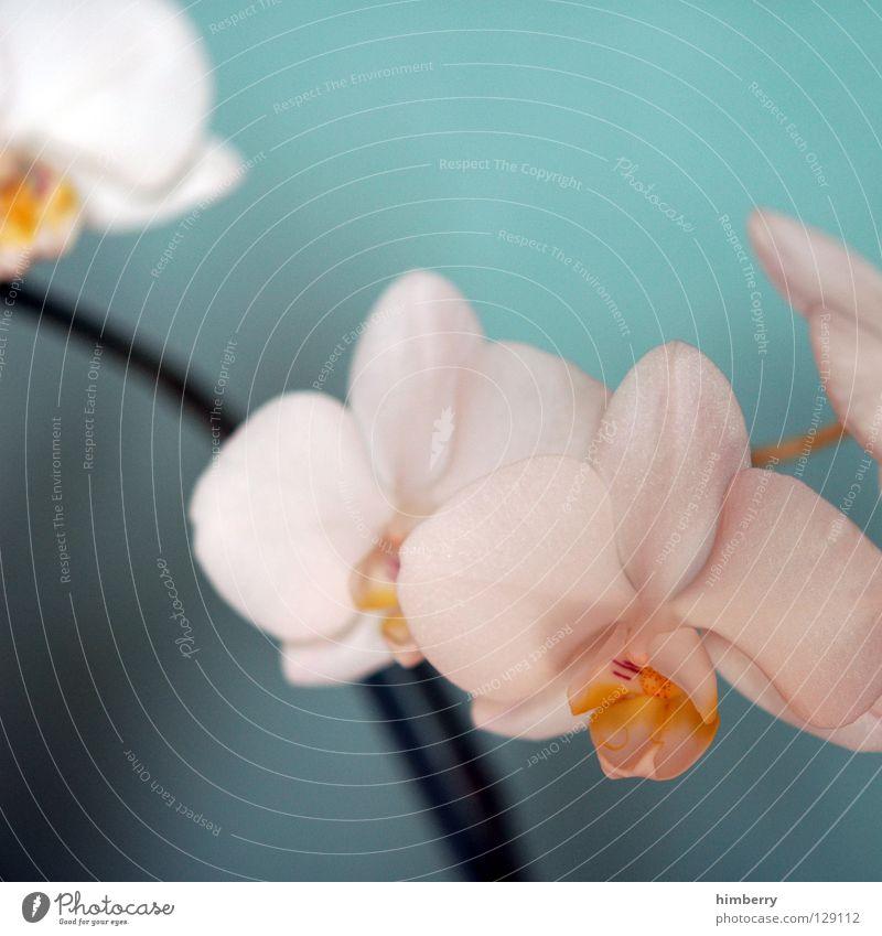 hessische oster orchideen Natur Pflanze schön Farbe weiß Sommer rot Blume Frühling Blüte Hintergrundbild Wachstum frisch Vergänglichkeit Blütenknospen Botanik