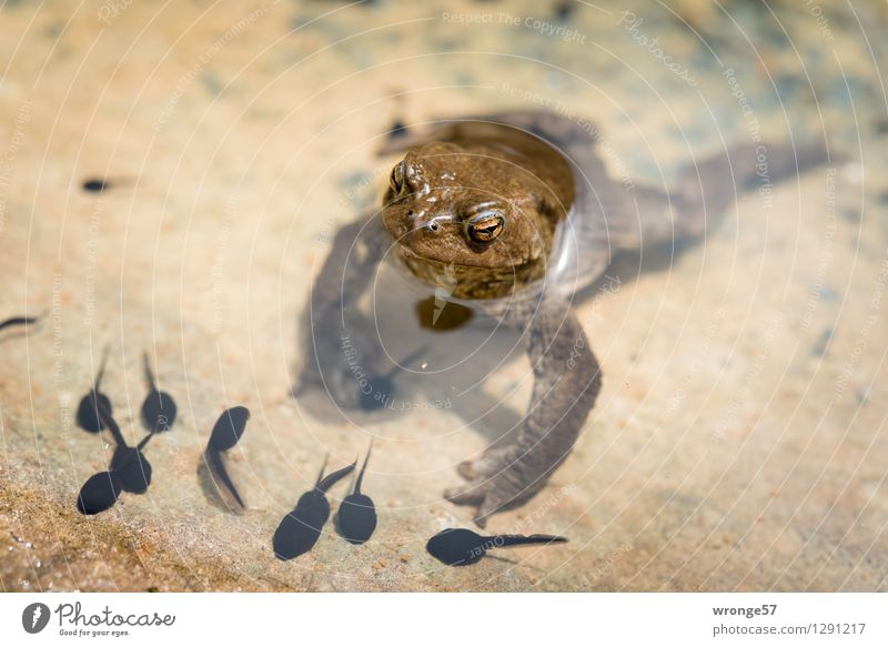 Amphibisch Tier schwarz Frühling braun Park Wildtier Tiergruppe beobachten Schutz Sicherheit tauchen Wachsamkeit Teich Geborgenheit Frühlingsgefühle Nachkommen