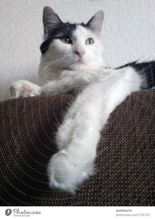 King Cat IV Katze Pfote Miau Tier Fell Sofa Körperhaltung Säugetier Hauskatze Miez Fuß Haare & Frisuren König