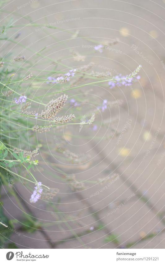 verblühter Lavendel Natur Pflanze Sommer Sträucher hell welk Blühend grau violett Pflastersteine grün hellgrün zart zartes Grün durcheinander diagonal Stadt