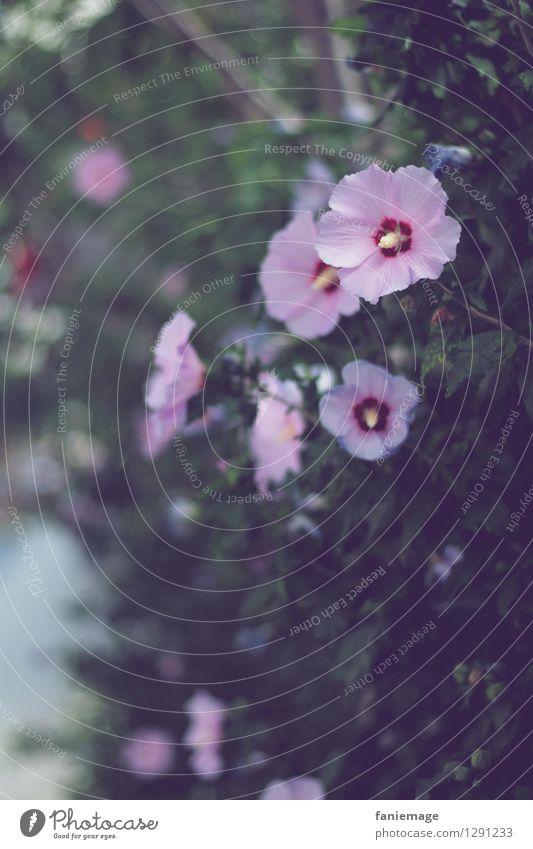 Hibiskus Natur Pflanze grün schön Sommer Blume dunkel Blüte Garten Sträucher Blühend geheimnisvoll violett Duft exotisch sommerlich
