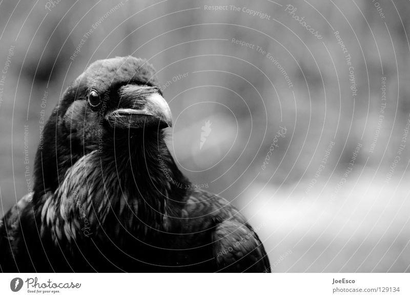 the crow 3/4 Natur weiß schön Tier schwarz Vogel fliegen Wildtier glänzend warten ästhetisch Feder stark Tiefenschärfe Krähe Rabenvögel