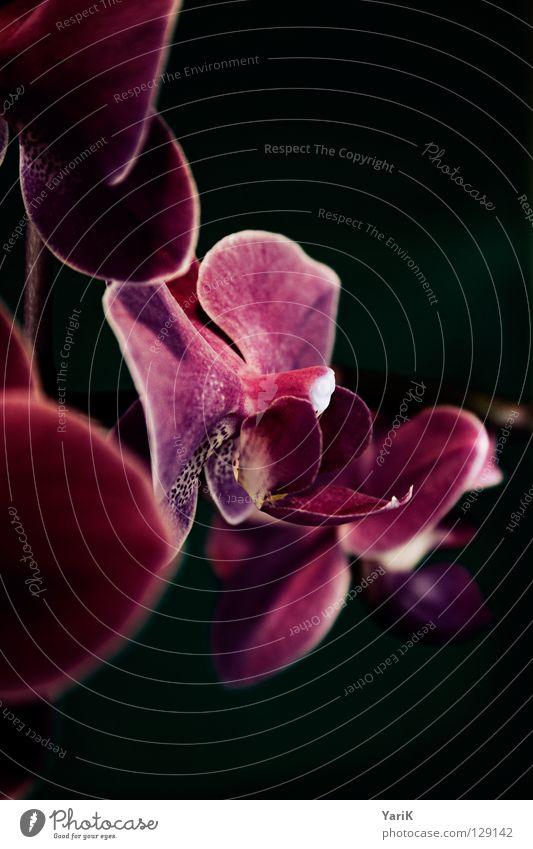 flower queen Blume Farbe dunkel Blüte Frühling Lampe Kraft rosa nass Wachstum violett Blühend feucht Orchidee glühen gedeihen