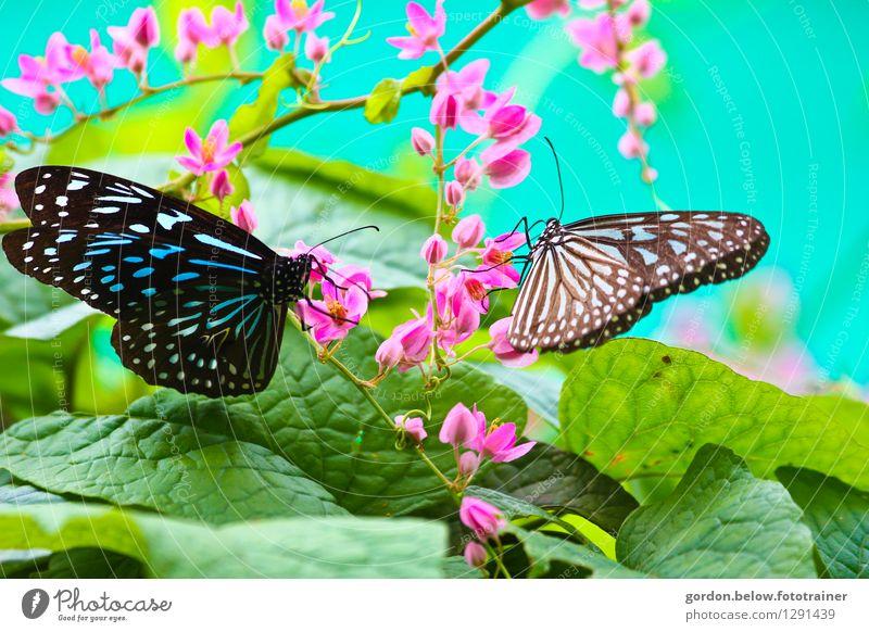 Frühlingsboten Umwelt Natur Tier Schmetterling 2 fliegen sitzen grün rosa türkis Zusammensein Leben Sehnsucht Freiheit Lebensfreude Farbfoto Außenaufnahme