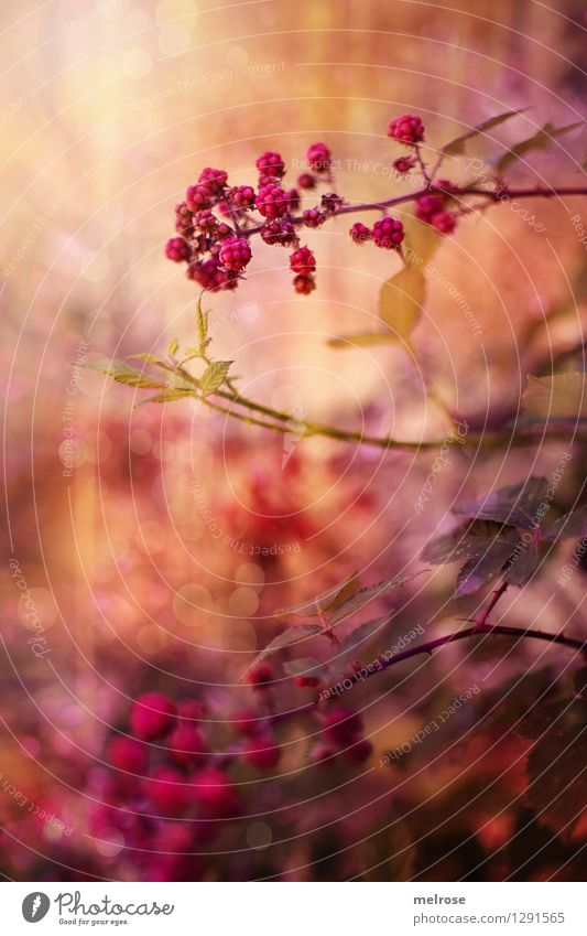 Beerentraum Frucht Süßwaren Brombeeren Beerensträucher Brombeerbusch Brombeerblätter elegant Stil Design Natur Sommer Schönes Wetter Sträucher Blatt Wald