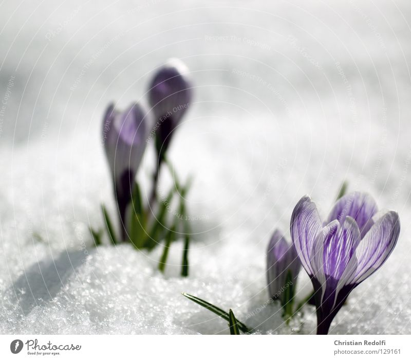 jetzt aber wirklich frühling grün blau Pflanze schwarz Schnee Blüte Frühling Garten violett Krokusse Zwiebel Knolle