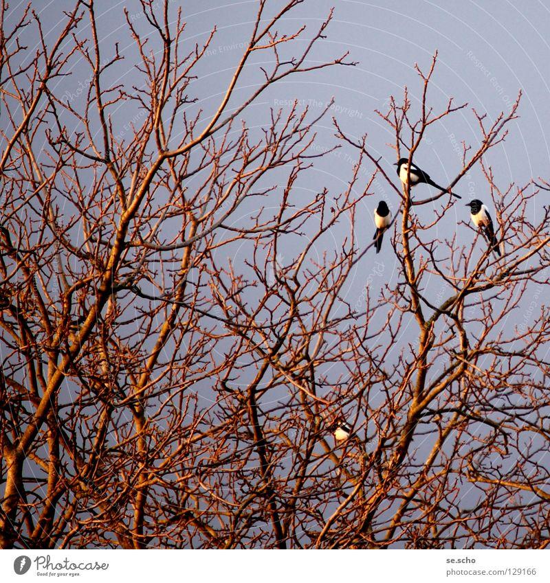 """""""schäck-schäck-schäck"""" Elster Rabenvögel Vogel Baum Geäst Schlafplatz Dämmerung Abend sprechen Götterbote Zweig Gezweig Abenddämmerung überblicken"""