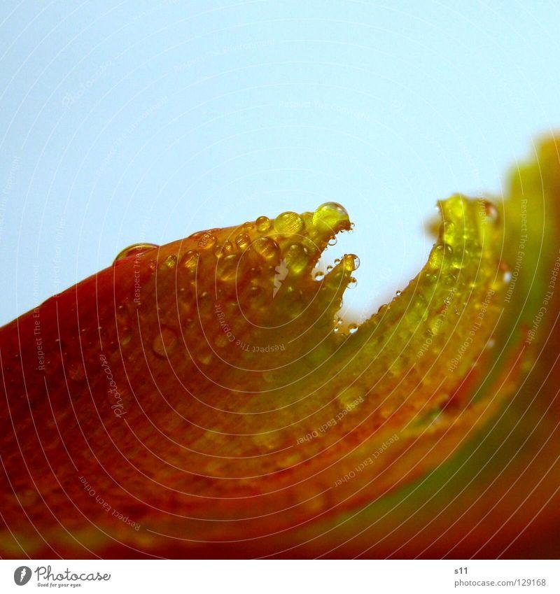 TulipDrops II Natur Pflanze schön grün Wasser Blume rot Blüte Frühling Regen orange glänzend Wassertropfen Spitze nass Vergänglichkeit