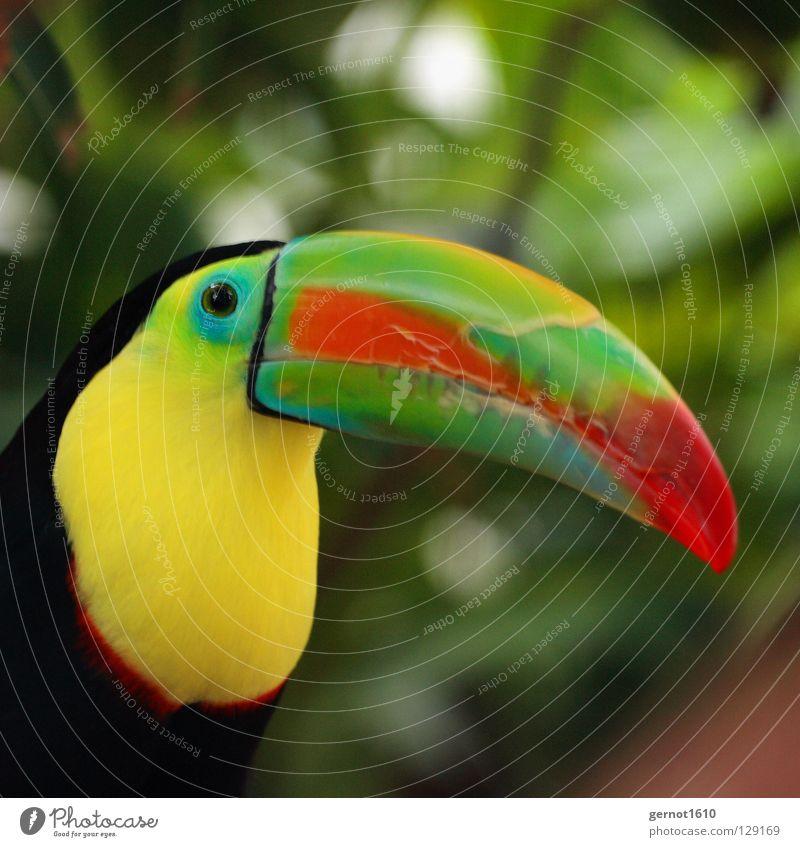 Die Nase eines Mannes ... grün rot Tier schwarz gelb Auge Vogel beobachten Zoo Urwald Langeweile Schnabel Südamerika mehrfarbig