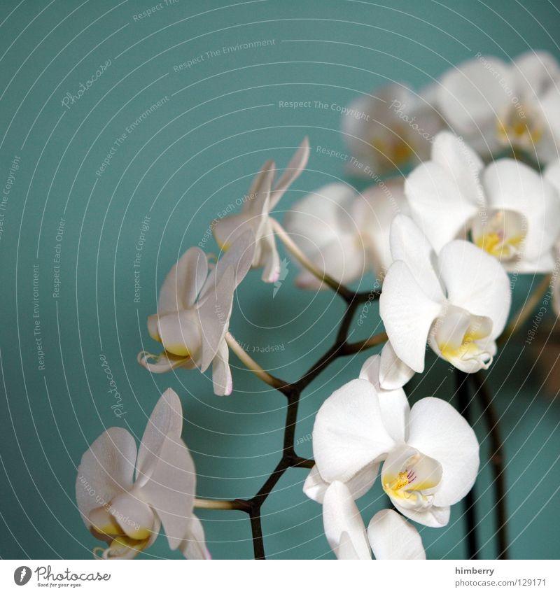 hessische oster orchideen II Natur Pflanze schön Farbe weiß Sommer rot Blume Frühling Blüte Hintergrundbild Wachstum frisch Vergänglichkeit Blütenknospen