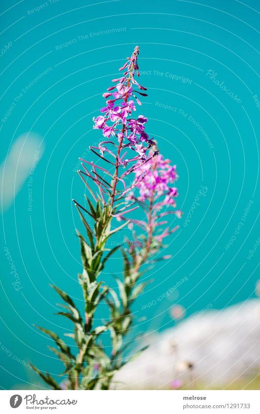 türkis-pink III elegant Stil Natur Landschaft Erde Wasser Sommer Schönes Wetter Pflanze Sträucher Blatt Blüte Wildpflanze Almblumen Seeufer Lünersee Farbfleck