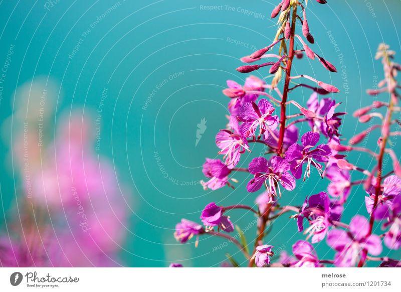 türkis-pink elegant Stil Natur Wasser Sommer Schönes Wetter Blume Blüte Wildpflanze Bergblumen Almblumen Blütenstiel Seeufer Lünersee Brand Vorarlberg Farbfleck