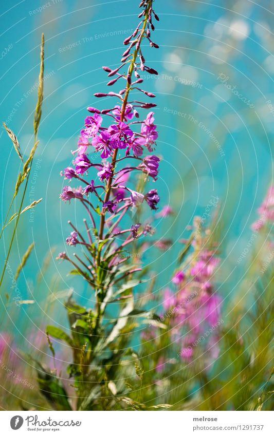 Bergblumen - Name ? Natur Ferien & Urlaub & Reisen Pflanze grün schön Sommer Wasser weiß Erholung Blume Gras See rosa glänzend Sträucher Ausflug