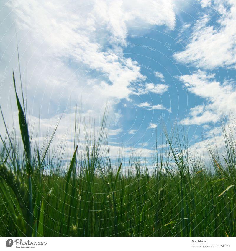 Himmelfeld Feld Kornfeld himmelblau Wolkenbild himmlisch saftig giftgrün weiß schlechtes Wetter Ähren Landwirtschaft Wolkenformation Körnerbrot himmelbild