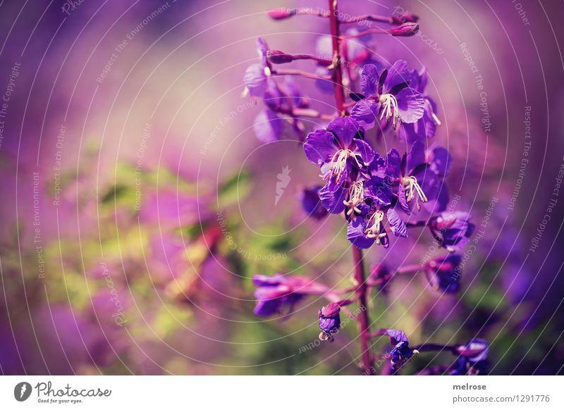 lila Wölkchen elegant Stil Natur Pflanze Sommer Schönes Wetter Blume Blüte Wildpflanze Blütenblätter Blütenstiel Park Farbenspiel Blühend Erholung stehen