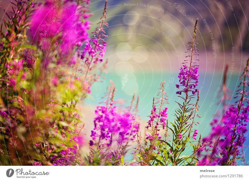 Blumen auf 1970 m Natur Ferien & Urlaub & Reisen grün schön Sommer Wasser Erholung Landschaft Berge u. Gebirge Blüte natürlich See rosa glänzend träumen