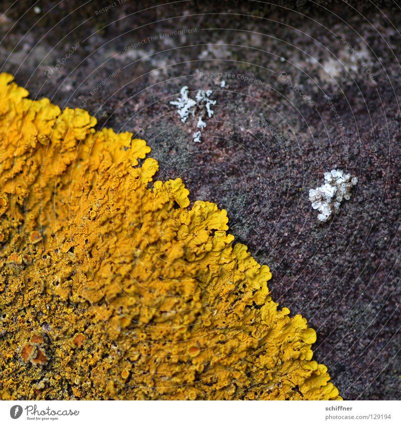 Pfannkuchen gelb Lampe Beton Pilz kleben Untergrund Photosynthese ausbreiten Flechten verbreiten Krustenflechte