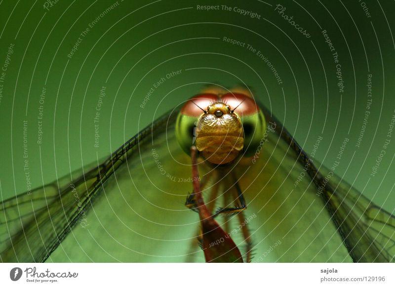 schau, schau! grün Auge Tier Kopf Flügel Insekt Wildtier frontal Libelle kulleräugig Facettenauge Glubschauge Libellenflügel