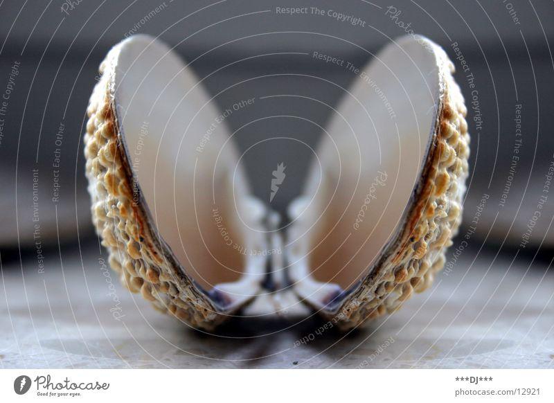 Zwillingsmuschel Meer Strand Suche Schmuck Perle Muschel Australien finden