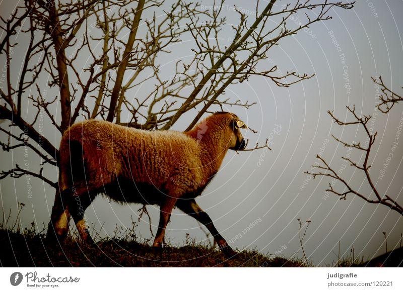 Schaf Himmel Baum Tier Farbe Wiese Berge u. Gebirge Garten Park Sträucher weich Bauernhof Fell Landwirtschaft Weide