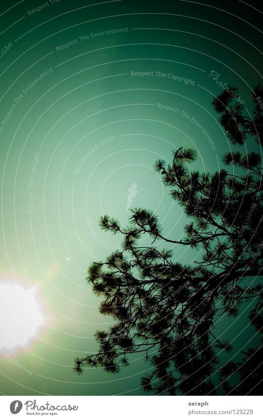 Nadelbaum Himmel Natur alt Baum Wolken dunkel Wald Umwelt natürlich Hintergrundbild Ast Umweltschutz Botanik Baumrinde Kiefer