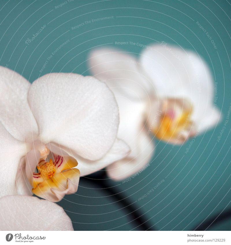 hessische oster orchideen III Natur Pflanze schön Farbe weiß Sommer rot Blume Frühling Blüte Hintergrundbild Wachstum frisch Vergänglichkeit Blütenknospen Botanik