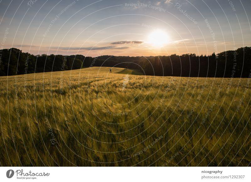 Goldenes Kornfeld Natur Pflanze Himmel Sonne Sonnenlicht Frühling Klima Wetter Schönes Wetter Wärme Nutzpflanze Feld Wald Hügel Blühend Denken Erholung Blick