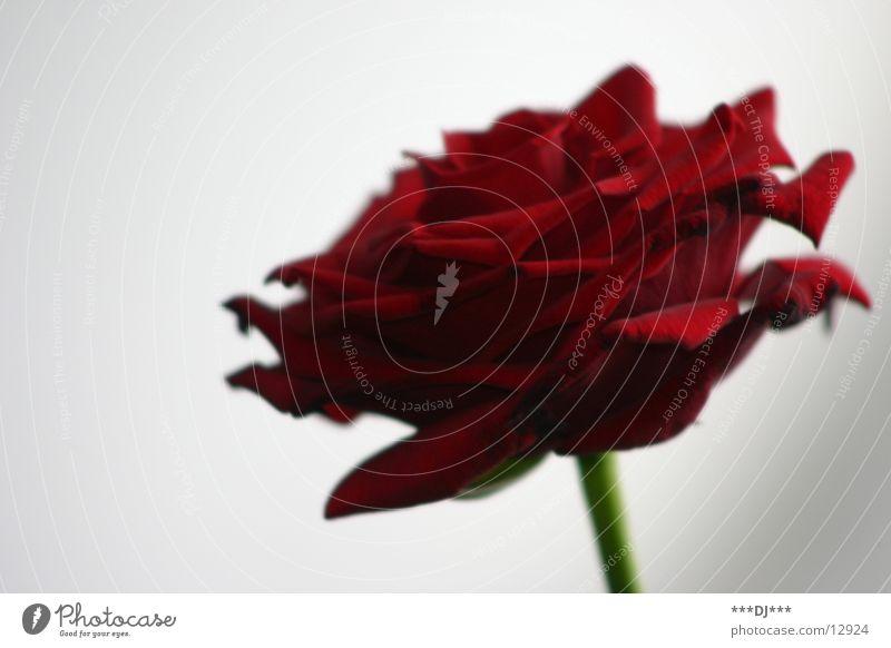 Eine besondere Blume grün rot Freude Blüte Blühend Rose Leidenschaft Valentinstag Jahrestag Namenstag
