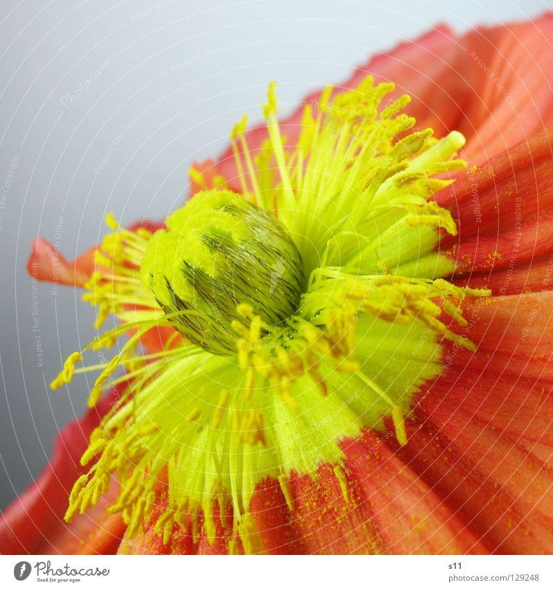 MohnFlower Blume Blüte Pflanze Blumenladen Pollen gelb rot Vergänglichkeit Blütenblatt Glätte fein schön diagonal Quadrat Frühling Jahreszeiten Makroaufnahme