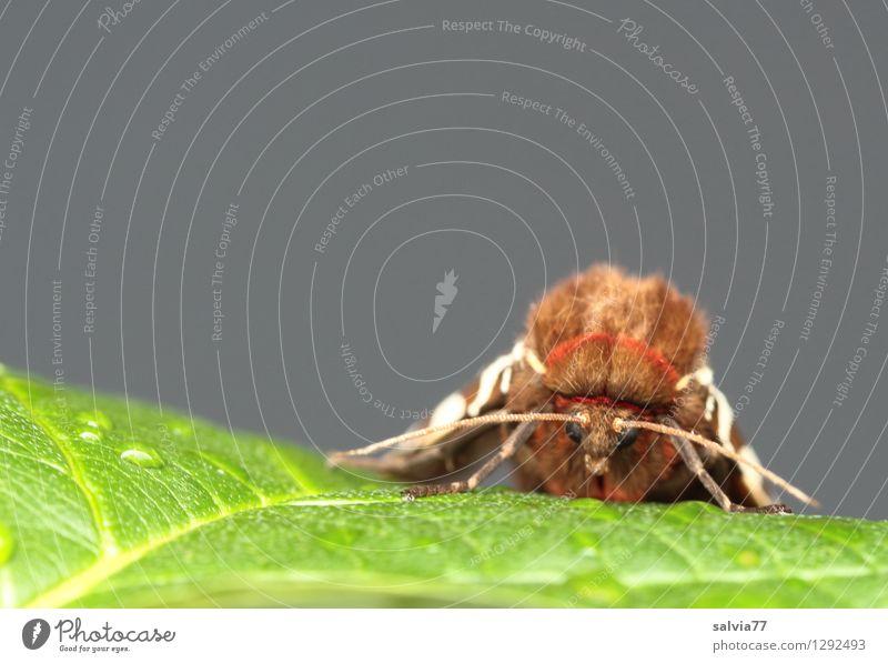 Bärengesicht Natur Pflanze grün Sommer Erholung Blatt Tier grau braun frisch Wildtier sitzen Flügel nah Insekt Schmetterling