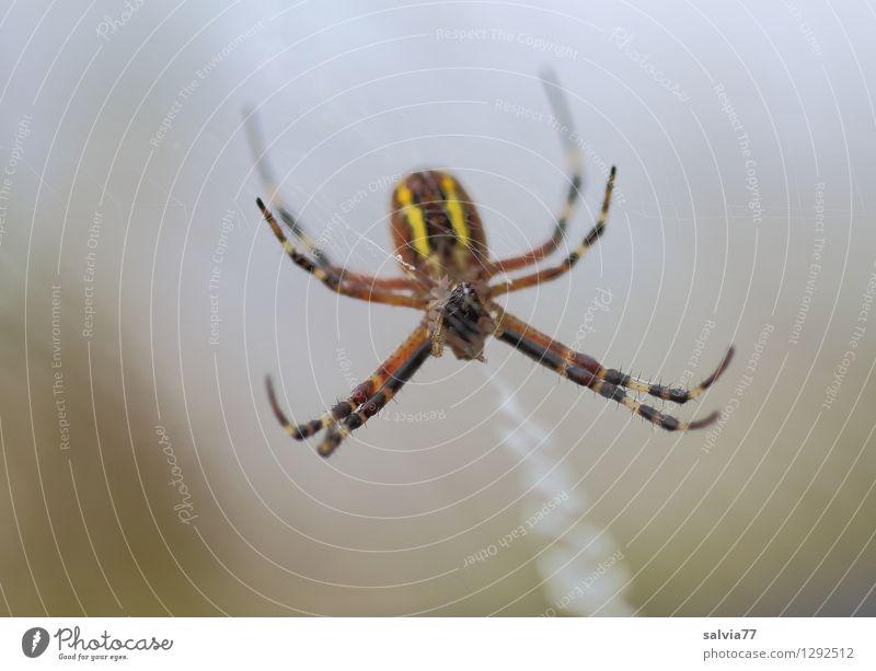 Spider Umwelt Natur Tier Wildtier Spinne Wespenspinne 1 fangen hängen krabbeln dunkel dünn Ekel klein listig braun grau achtsam Wachsamkeit Gelassenheit