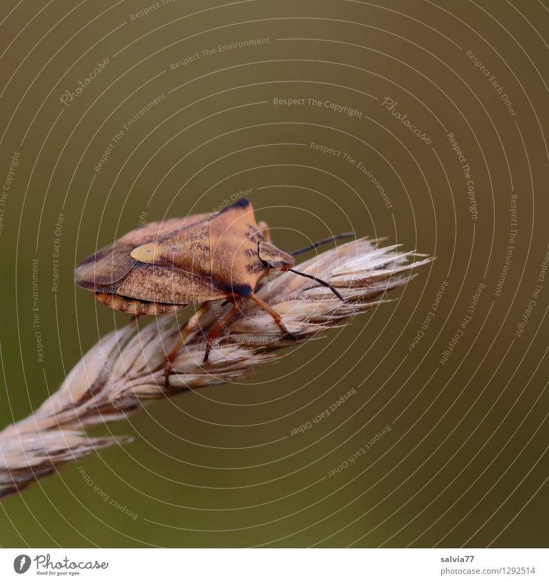 Anpassung Sommer Blüte Gräserblüte Tier Wildtier Wanze Insekt 1 krabbeln sitzen klein nah natürlich oben braun Zufriedenheit verstecken anpassungsfähig