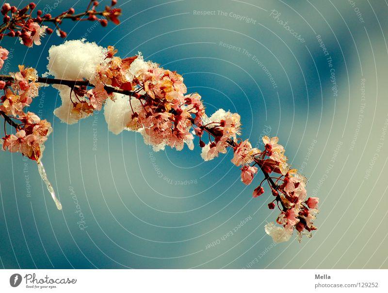 Mann, ist das kalt! Himmel blau weiß Baum Wolken Schnee Frühling Blüte rosa Park Eis Sträucher Ast Blühend Frost
