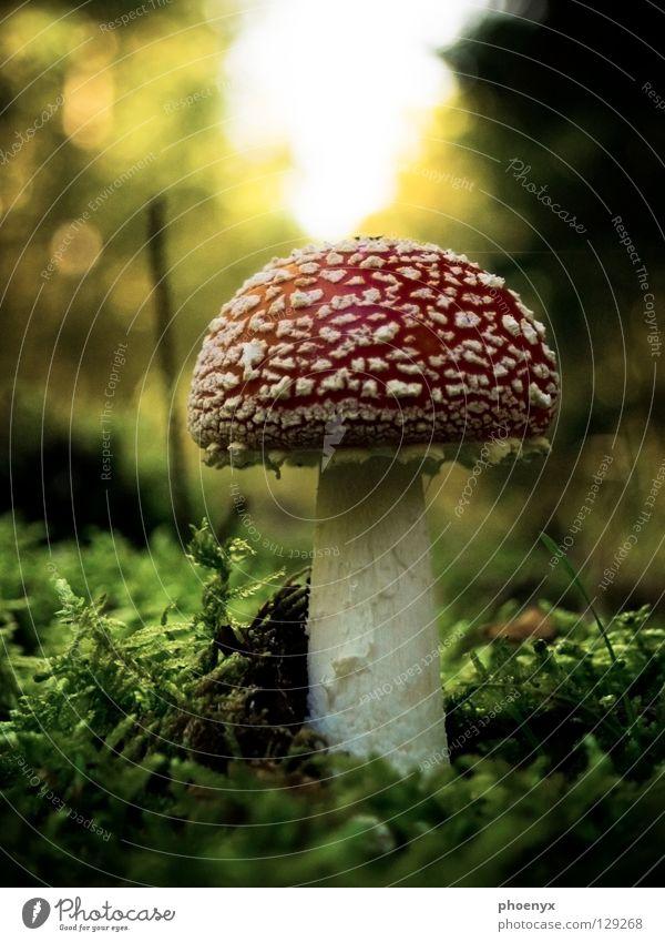 Mein Freund der Pilz Natur weiß grün rot Wald Herbst Gras klein lecker Gift diffus Fliegenpilz Ederstausee