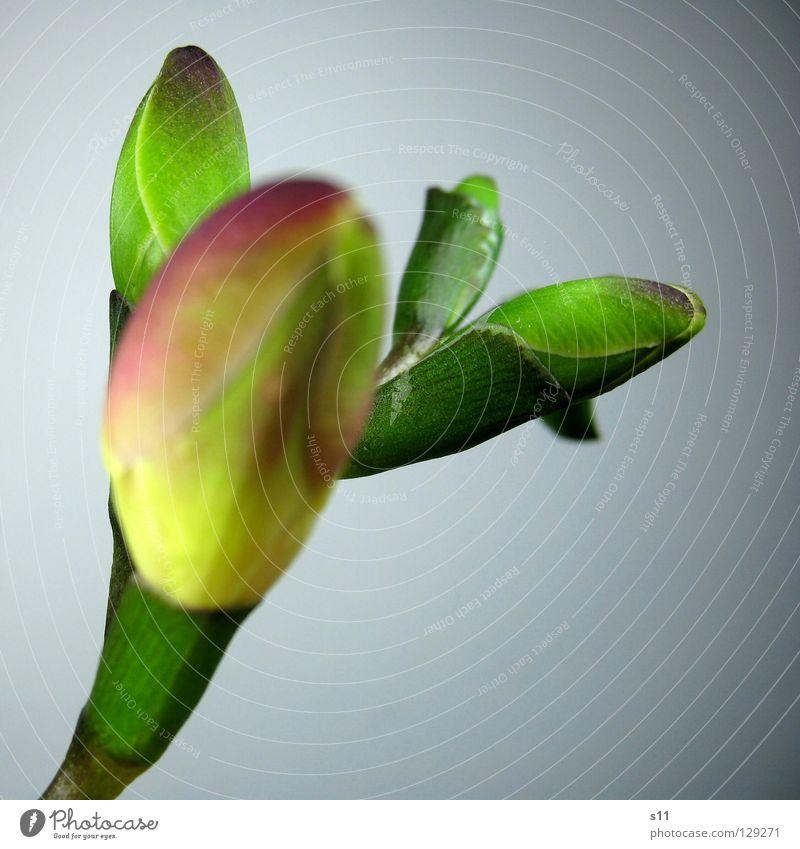Freesia II Freesie Blume Blüte Knöpfe Pflanze grün hellgrün dunkelgrün Stengel unreif Wachstum Freisteller knackig Blumenladen Makroaufnahme Nahaufnahme
