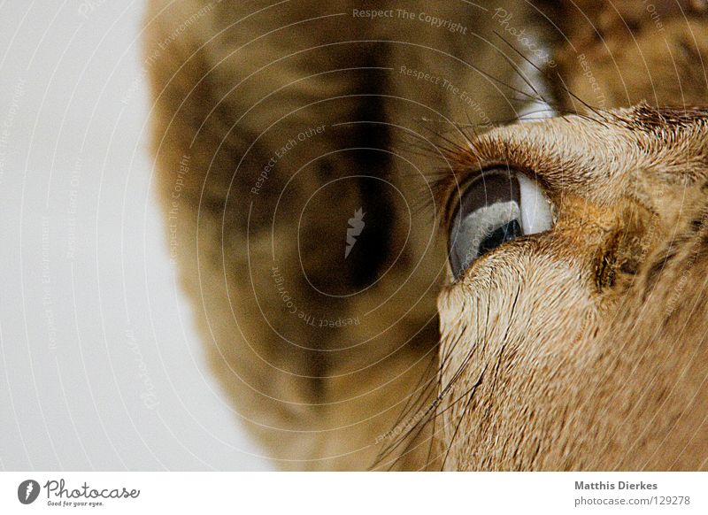 Dammwild Hirsche Elch Reh Tier Waldtier Horn Wimpern Augenbraue Hintergrundbild Hälfte Teilung Erinnerung Souvenir Jäger Gebiss Hase & Kaninchen Lebensraum