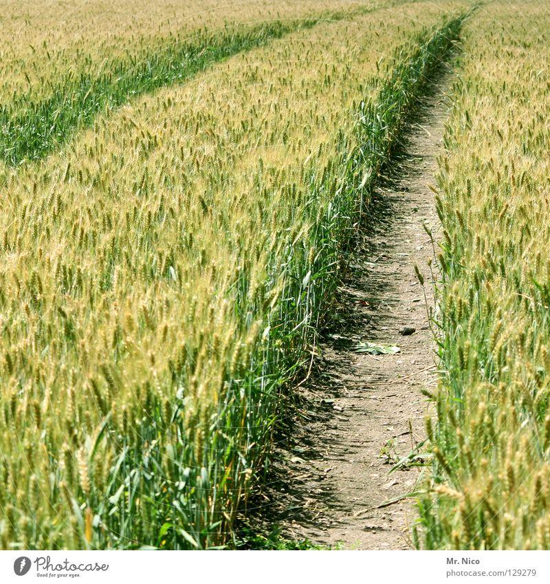 stigma Furche Spuren Fahrbahn diagonal Traktorspur Landwirtschaft Feld Kornfeld Fußweg Wege & Pfade grün gelb frisch Ähren Halm Sommer tiefe furchen spurrillen