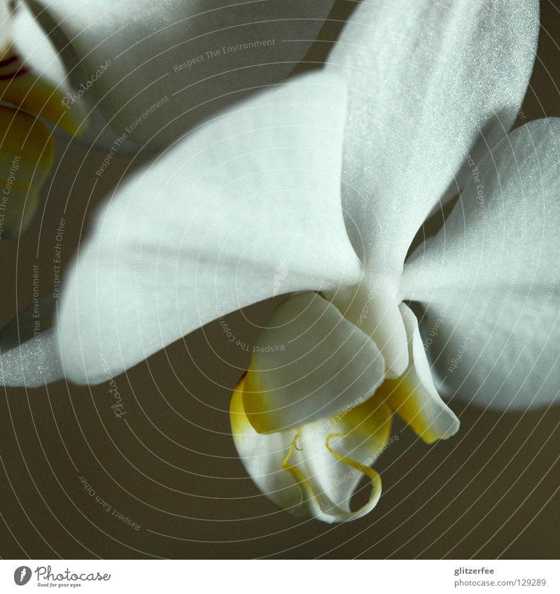 reinheit Orchidee Blume Pflanze Blüte Wohnzimmer Blütenblatt weiß gelb Topfpflanze Thailand Botanik Wachstum Park Wellness Vergänglichkeit Freude Makroaufnahme