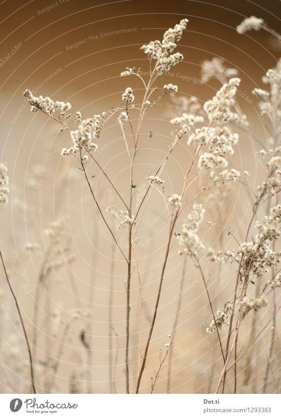 Wintergras Natur Pflanze Winter Herbst Vergänglichkeit zart trocken Halm zerbrechlich verblüht Wildpflanze Gräserblüte