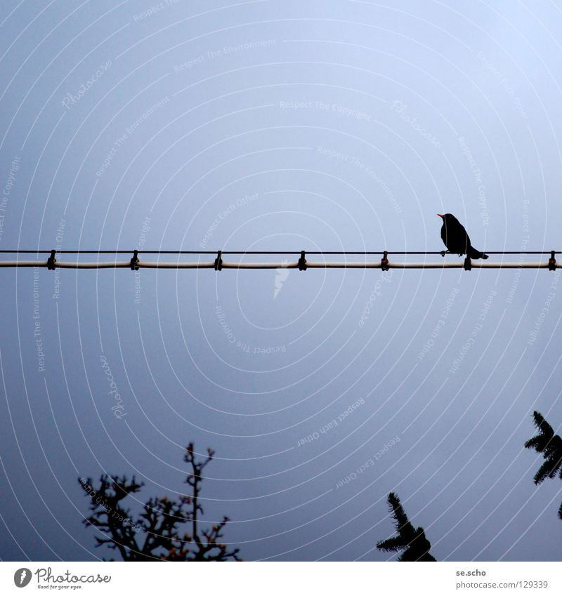 Warten auf... Vogel Dämmerung Abenddämmerung Draht Einsamkeit ruhig Baum Blick warten Leitung Kabel blau Himmel Baumkrone überblicken Aussicht