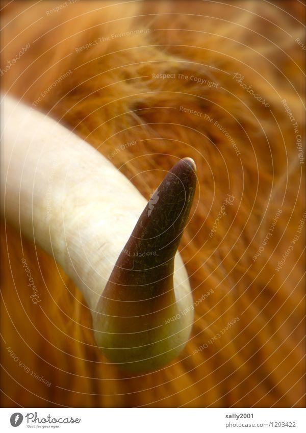 schottisches Hochlandhorn... Tier Nutztier Kuh Fell Horn Rind 1 bedrohlich gigantisch groß rund Spitze braun Tapferkeit Kraft Macht gereizt Feindseligkeit