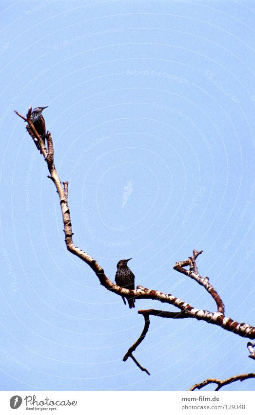 warten Rabenvögel Geier Birke Krähe Vogel Baum Blatt Winter Herbst hocken kalt hockend schlechtes Wetter Wolken ruhig Erholung Trauer Langeweile Pause