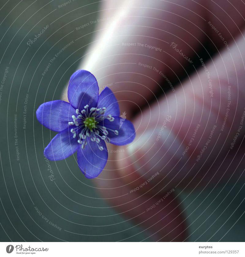 der Frühling kommt... Blume blau Pflanze Natur Wiese Hand Fingernagel Leberblümchen violett Fröhlichkeit mehrfarbig schön Frieden Flowerpower Hintergrundbild