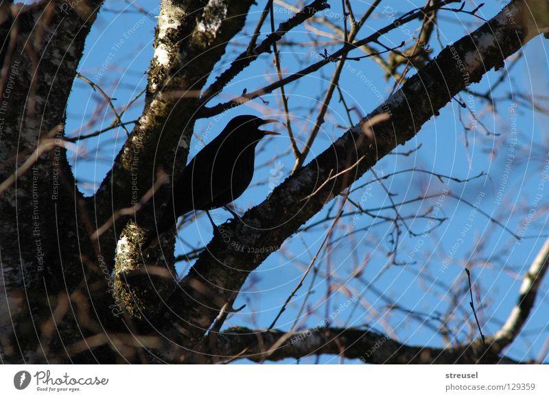 Lied der Amsel Himmel Natur blau Baum Sommer Freude schwarz Umwelt sprechen Gefühle Freiheit Frühling Luft träumen Vogel Zufriedenheit