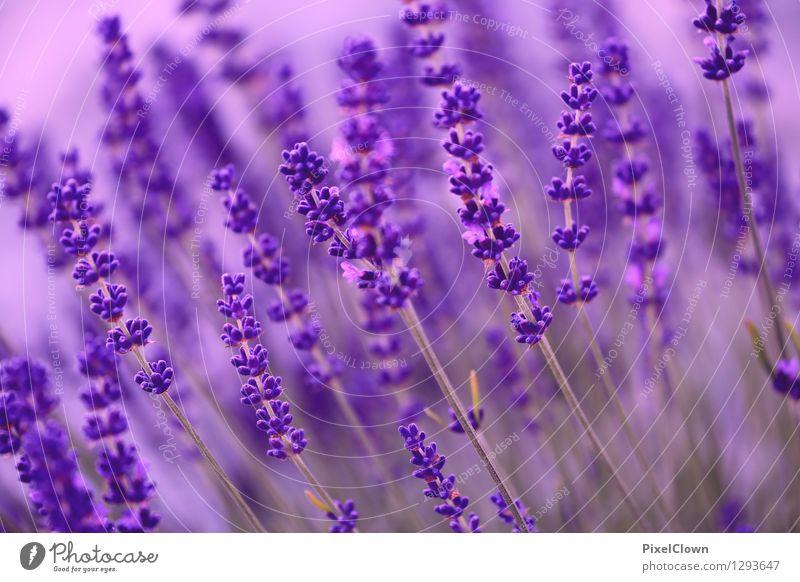 Lavendel Natur Pflanze schön Erholung Blume Blüte Garten Lifestyle Stimmung Zufriedenheit träumen Feld Wachstum elegant ästhetisch Blühend