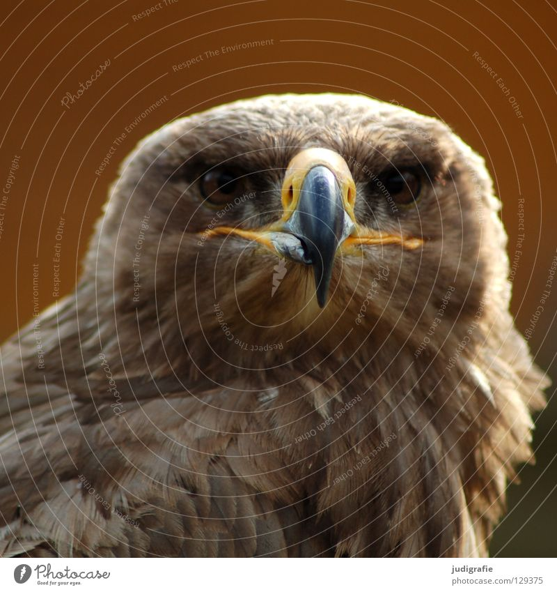 Adler Vogel Greifvogel Schnabel Feder Ornithologie Tier schön Umwelt Farbe steppenadler Stolz Blick Leben Natur