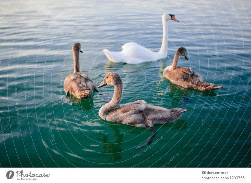 . Natur grün Sommer Wasser weiß Tier Tierjunges feminin Schwimmen & Baden See braun Wachstum Wildtier Feder ästhetisch Tiergruppe